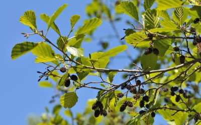 The Ordinary and Amazing Alder Tree